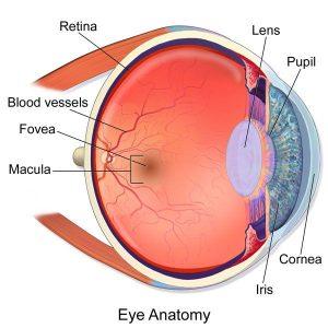 porque se dilatan las pupilas globoocular